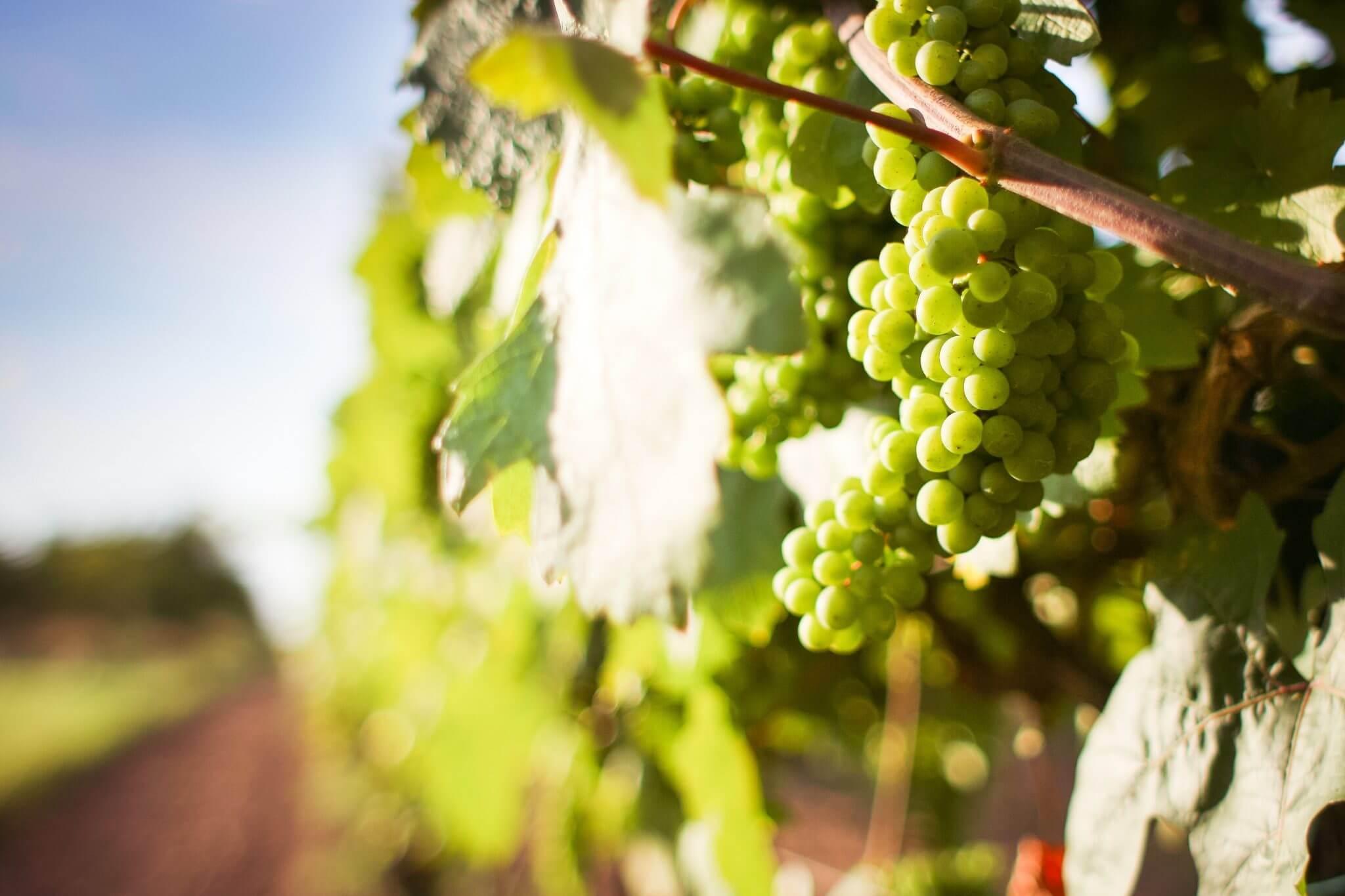 Quali sono i vitigni a bacca bianca